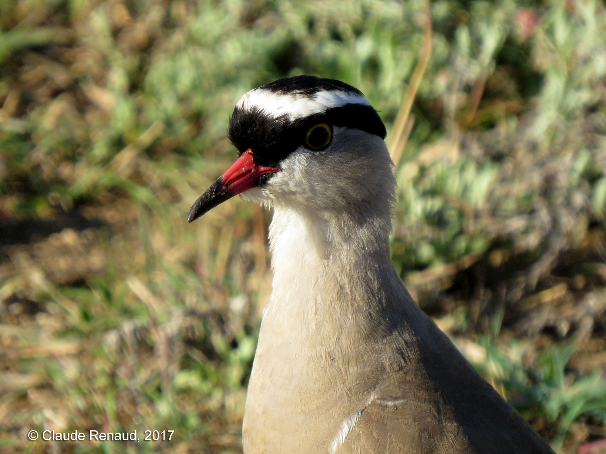 Crowned Lapwing photo 02