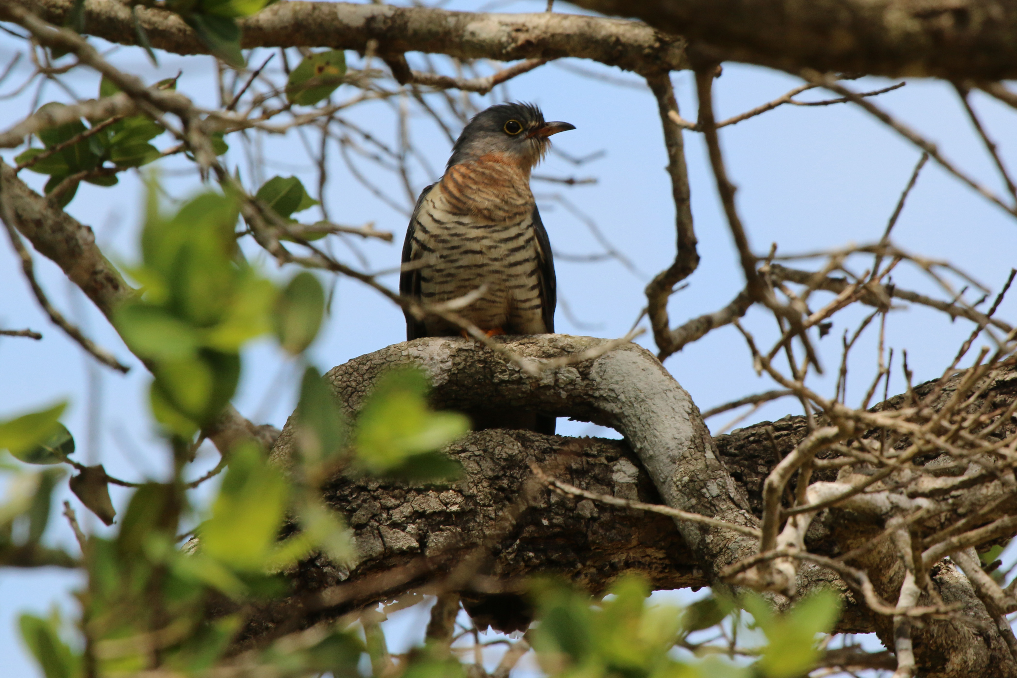 Red-chested Cuckoo photo 01