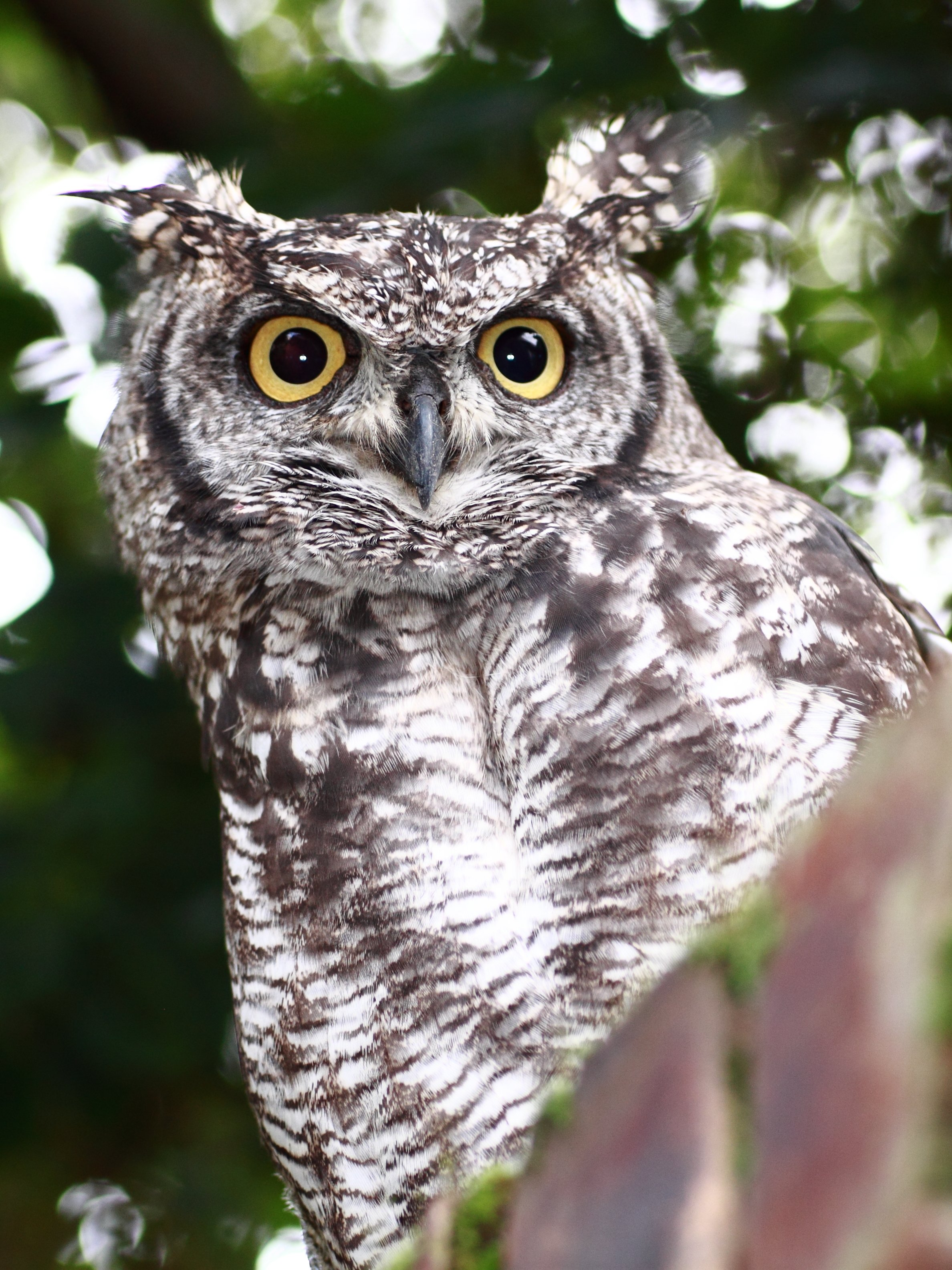 Spotted Eagle-Owl photo 02