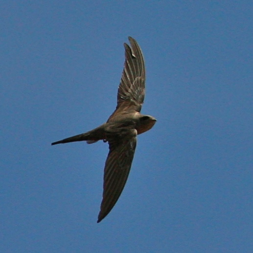 African Palm-Swift photo 02