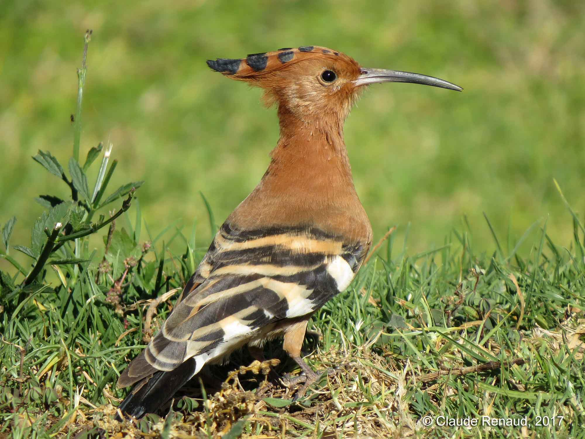 African Hoopoe photo 01