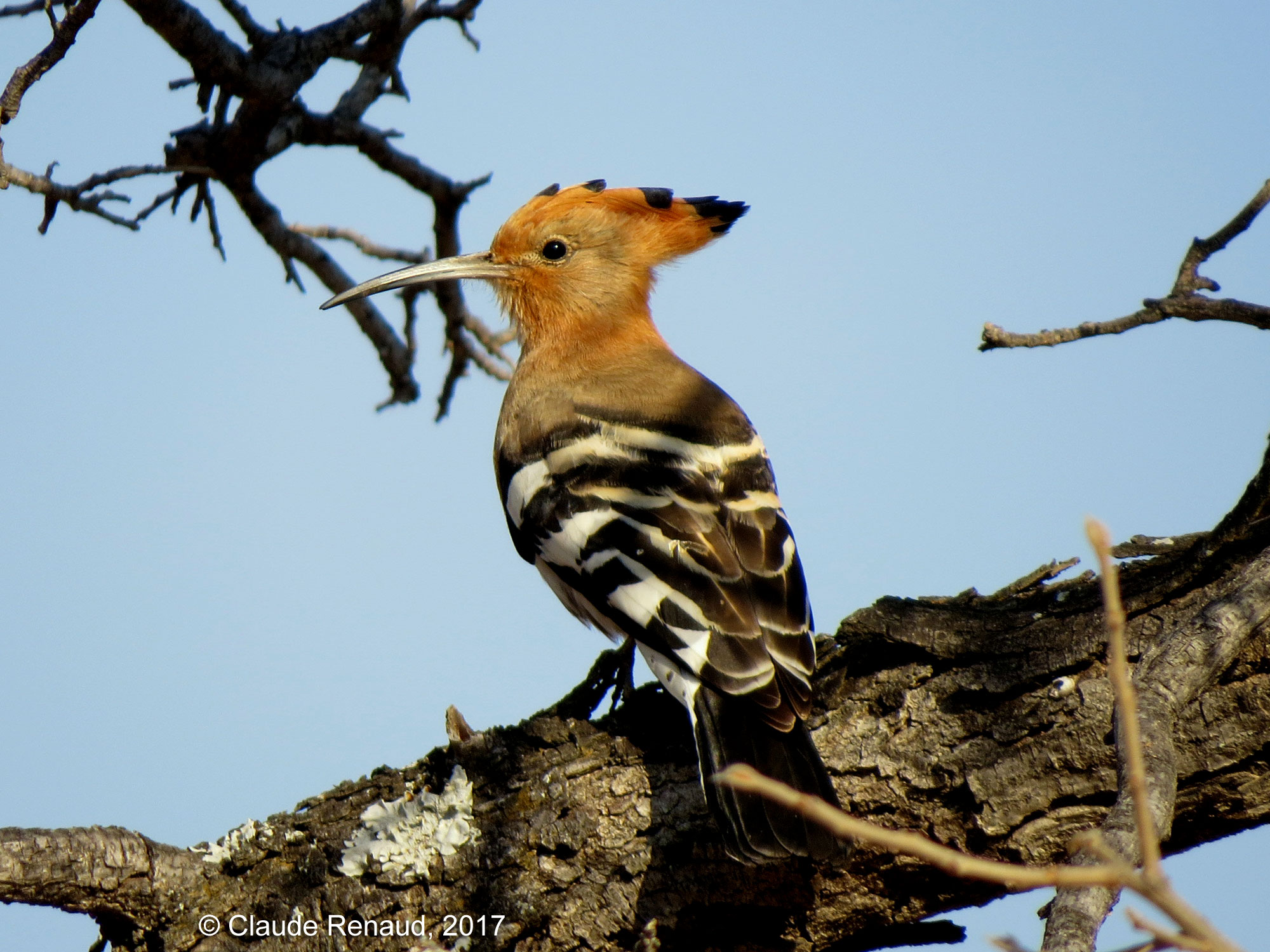 African Hoopoe photo 02
