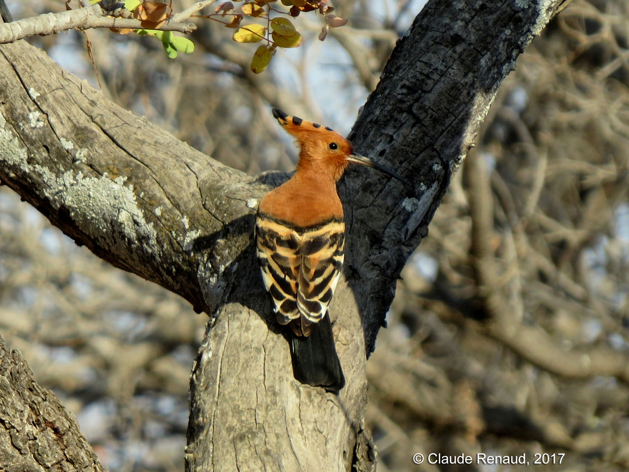 African Hoopoe photo 03