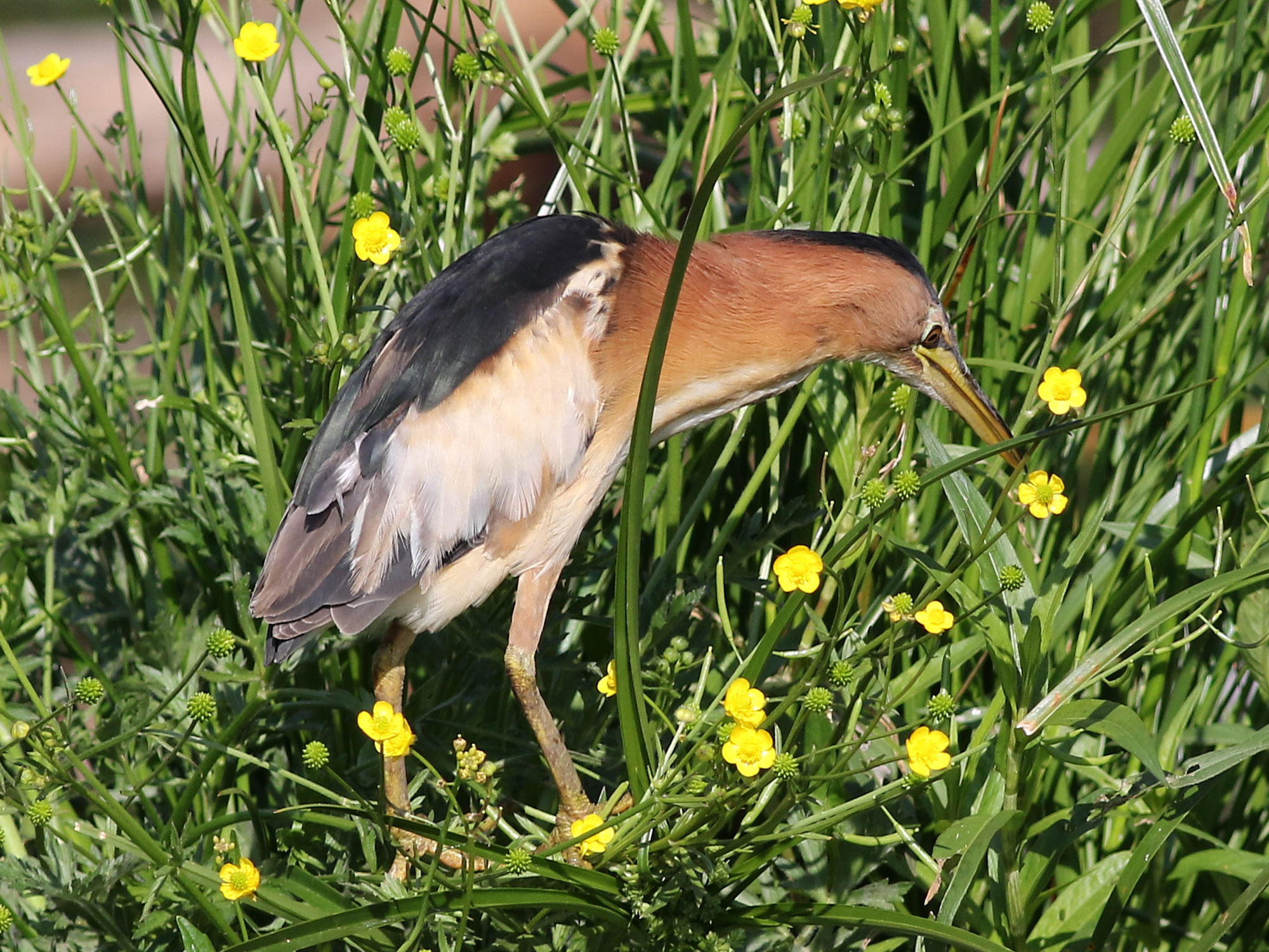 Little Bittern photo 03
