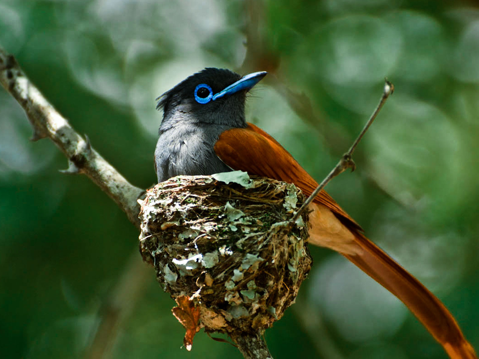 African Paradise-Flycatcher photo 02