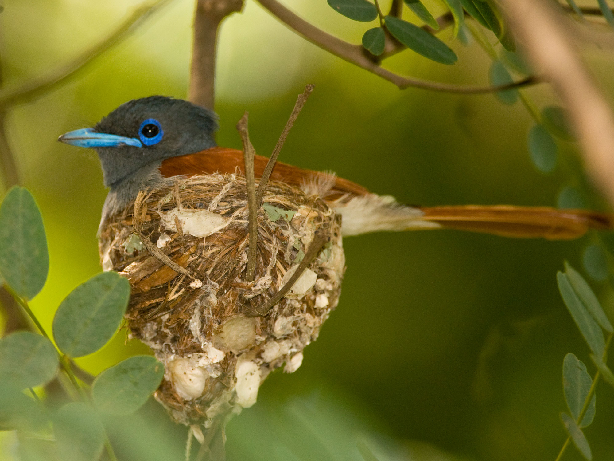 African Paradise-Flycatcher photo 03