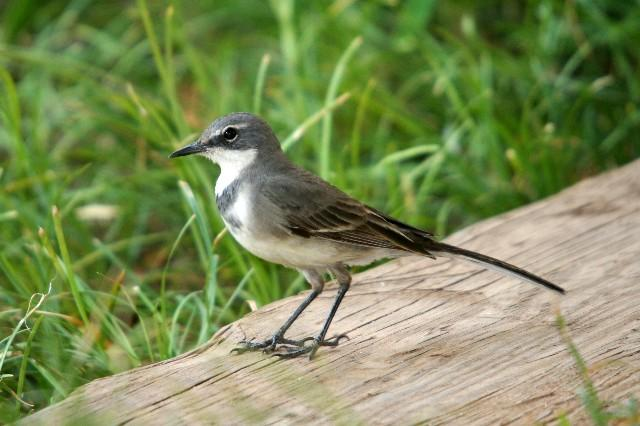 Cape Wagtail photo 01