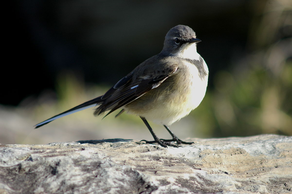 Cape Wagtail photo 02