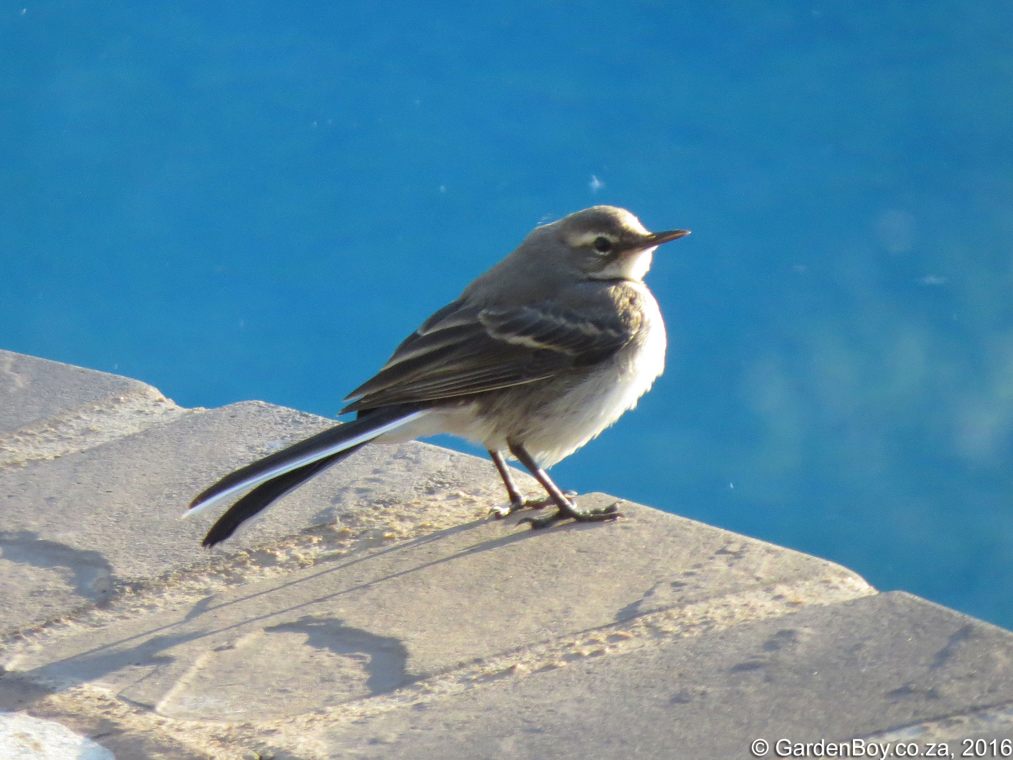 Cape Wagtail photo 03