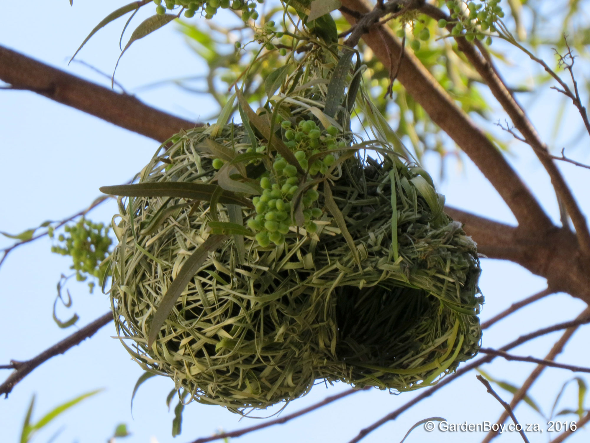Southern Masked-Weaver photo 03