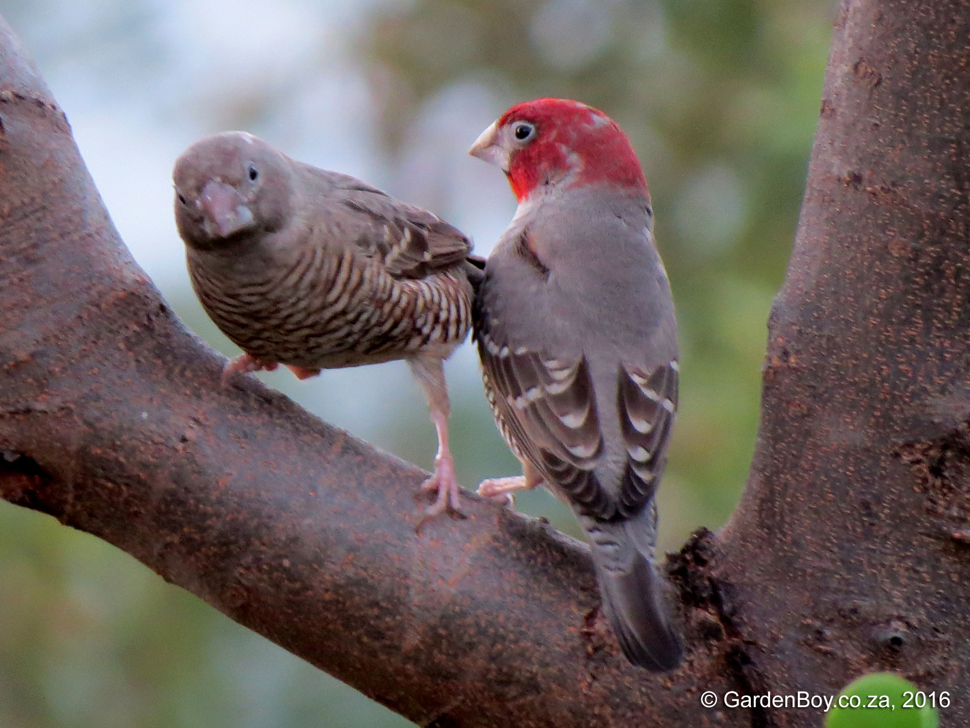 Red-headed Finch photo 02