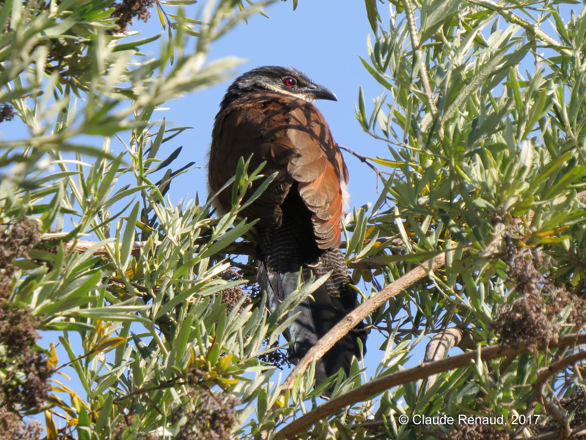 Burchell's Coucal photo 02